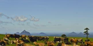 Bétail se reposant devant des montagnes de serre, côte de soleil, Queensland, Australie Photographie stock libre de droits