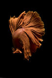 Bêta bain de poissons sur le fond noir photos stock