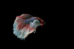Bêtas poissons Photos stock