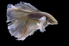 Bêtas poissons Images libres de droits
