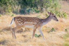 Bête d'un an de cerfs communs affrichés Photo stock