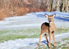 Bête d'un an de cerfs communs de Whitetail images stock