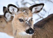Bête d'un an de cerfs communs de Whitetail photographie stock libre de droits