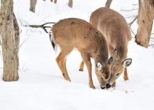Bête d'un an et daine de cerfs communs de Whitetail Photographie stock libre de droits