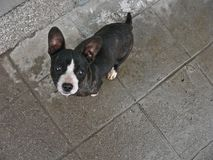 Bête perdue de chien Chiens de rue Abus animal Chien de paria image stock