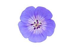 Bígaro azul Fotos de archivo libres de regalías