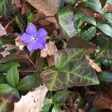 Bígaro en violeta Fotografía de archivo libre de regalías