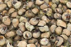Bígaros - mariscos, crudos fotografía de archivo libre de regalías