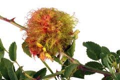Bílis feita para a proteção do inverno por uma vespa de bílis de Rose Stem fotos de stock royalty free