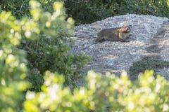 Bóbr na kamieniu Zdjęcie Royalty Free