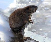 Bóbr na lodzie Zdjęcia Stock