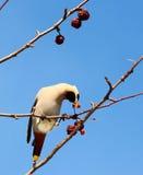 Böhmischer Waxwing auf Apfelbaum Lizenzfreie Stockfotos