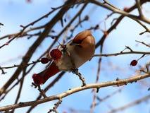 Böhmischer Waxwing auf Apfelbaum Stockfoto