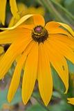 Böja av den svarta krysantemumblomman Arkivbild