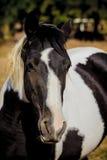 böjande häst Arkivfoto