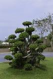 Böjande träd Royaltyfria Foton