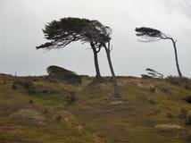 böjda trees arkivfoton