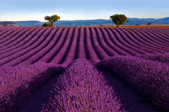 Bölja det purpurfärgade lavendelfältet arkivfoton