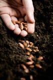 böna som planterar frö Arkivfoto