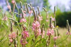 Bönablommor för lösa rosa färger Royaltyfria Foton