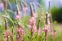 Bönablommor för lösa rosa färger Royaltyfri Bild