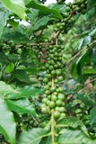 bönakaffegreen Arkivbilder