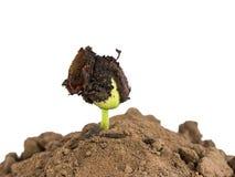 Bönan kärnar ur groende i jordning Arkivbild