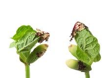 Bönan kärnar ur groende, med makrodetaljen Arkivfoto