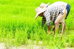 Bönder förbereder plantor av ris Arkivbilder