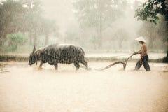 Bönder i bygden i asia, plogar jord för risodling med vattenbuffeln i regnig säsong, medan Arkivfoton