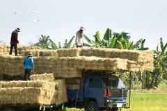 Bönder kommer med risfältsugrör upp till lastbilen Jordbruk Arkivbild