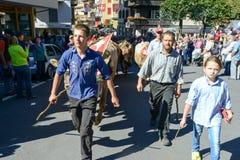 Bönder med en flock av kor på den årliga transhumancen på Engelb Royaltyfri Foto