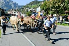 Bönder med en flock av kor på den årliga transhumancen på Engelb Royaltyfri Bild