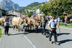 Bönder med en flock av kor på den årliga transhumancen på Engelb Fotografering för Bildbyråer