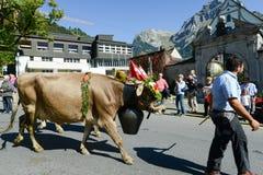 Bönder med en flock av kor på den årliga transhumancen på Engelb Arkivbild