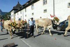 Bönder med en flock av kor på den årliga transhumancen på Engelb Arkivfoto