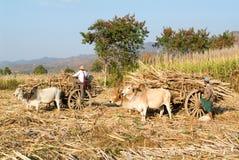 Bönder med oxevagnar som skördar sockerrottingen nära sjön Inle Royaltyfri Foto