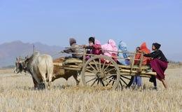 Bönder på oxevagnen i risfältfält Arkivfoton