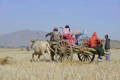 Bönder på oxevagnen i risfältfält Royaltyfri Foto