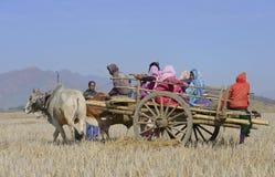Bönder på oxevagnen i risfältfält Royaltyfri Bild
