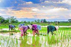 Bönder planterar ris Arkivbilder