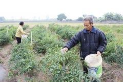Bönder skördade chili på fält royaltyfria bilder