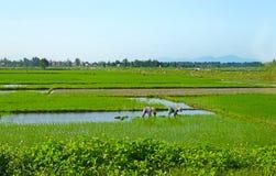 Bönder som arbetar i risfältet i Da Nang vietnam Unidentifiable oigenkännliga framsidor royaltyfria foton