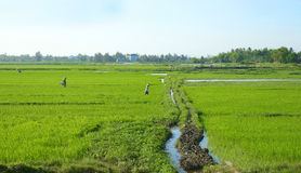 Bönder som arbetar i risfältet i Da Nang vietnam Unidentifiable oigenkännliga framsidor arkivfoto