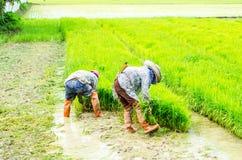 Bönder som arbetar i risfältfältet, Thailand Royaltyfria Bilder