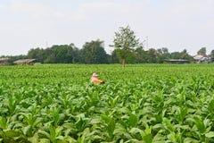 Bönder som arbetar i tobakfält arkivfoto