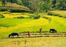 Bönder som arbetar på risfältet Arkivfoto