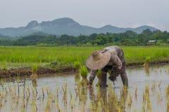 Bönder som fungerar plantera rice i paddyfältet arkivfoto