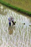 Bönder som planterar rice i lantgården Royaltyfri Foto