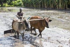 Bönder som plogar det jordbruks- fältet i traditionell väg var en plog fästas till tjurar arkivbild